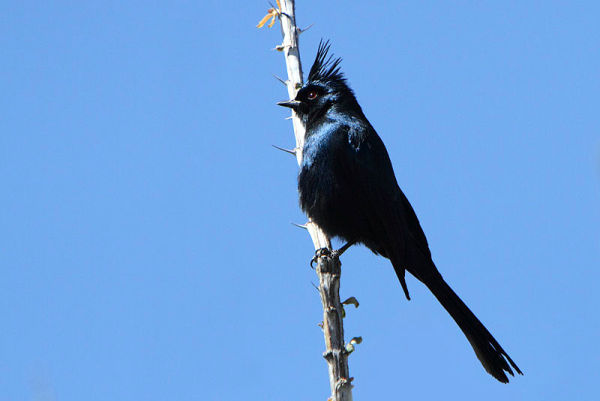 what does it mean when you see a black cardinal