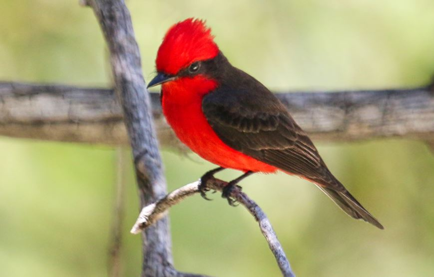black and red cardinal spiritual meaning islam