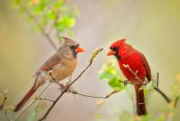 what is the meaning of a cardinal appearing