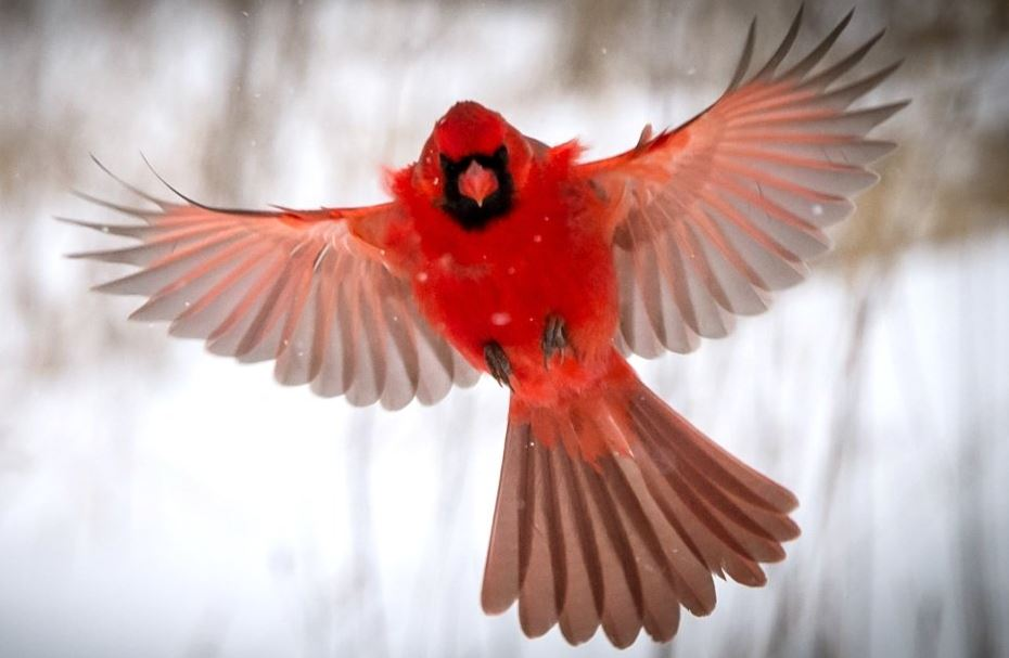 what does seeing a red cardinal mean