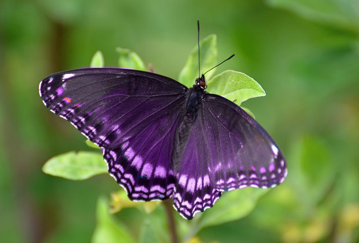 Purple butterfly spiritual Meaning