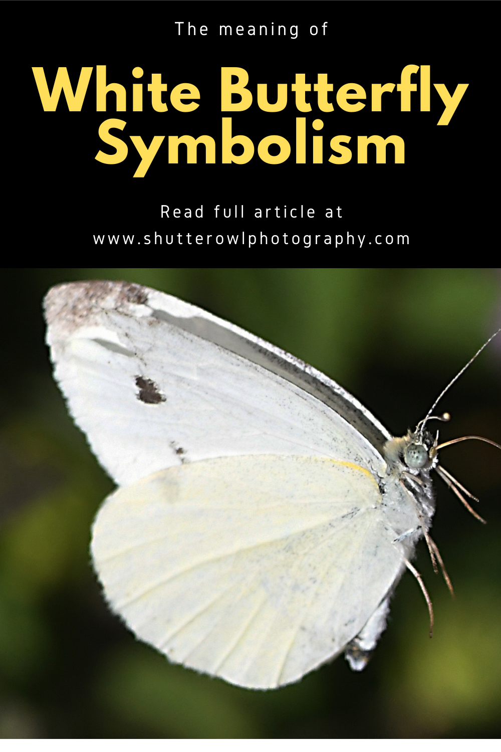 white butterfly symbolism meaning