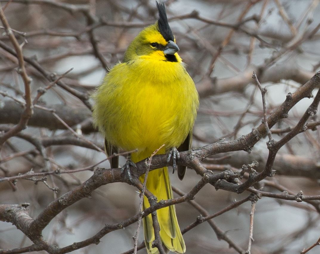 what does a yellow cardinal symbolize